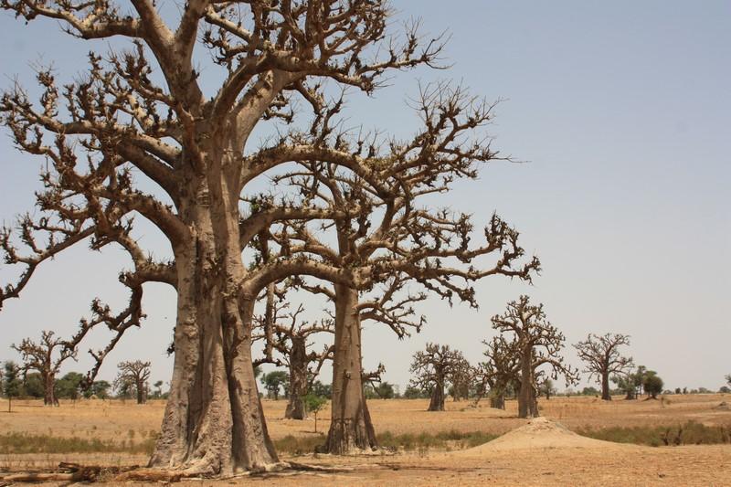 Des baobabs à perte de vue